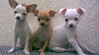 Potty Training A Chihuahua: You need help to be Potty Training A Chihuahua