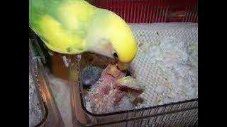 Perlu Anda Ketahui! Inilah Makanan Lovebird Saat Meloloh Anaknya