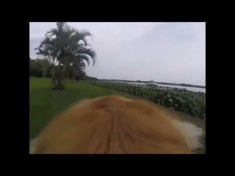 Cachorro Golden Retriever Bruce na marina e barco - Rio Tietê - Pederneiras - Brasil - gopro session