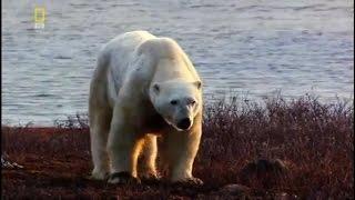 Дикая природа. Белые медведи. Атака в заполярье Документальный фильм National Geographic HD(, 2016-08-04T11:44:04.000Z)