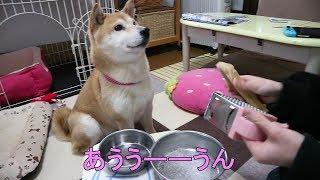 柴犬小春 Talking Dog!粉チーズの催促待ちでおしゃべりが止まらない!後編、一人の時間の過ごし方