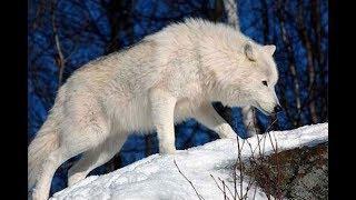 Почему волки не выступают в цирке?