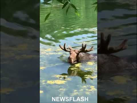 Large Moose Takes Dip In Moscow Park Pond