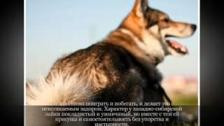 Западносибирская лайка Средние породы собак