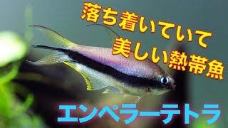 【熱帯魚・カラシン】エンペラーテトラ(Aqupedia)
