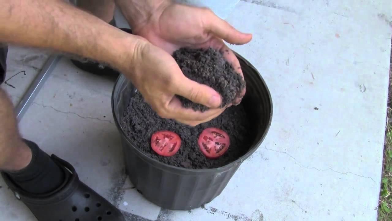 La technique la plus simple pour faire pousser ses plants de tomates youtube - Faire pousser des endives ...