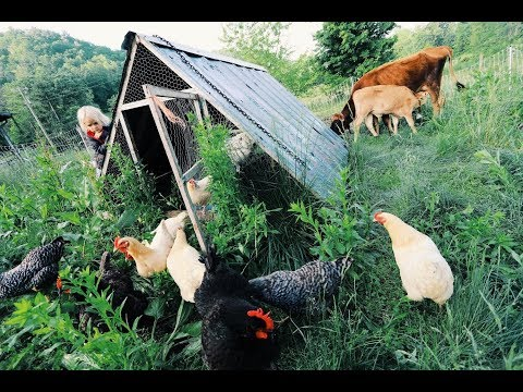 Can Chickens + Cows Work Together? At the same time
