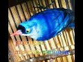 Suara Burung Rambatan Paruh Merah Pancingan Dan Masteran  Mp3 - Mp4 Download