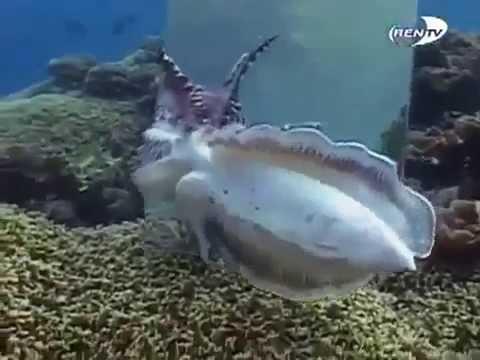 BBC Вокруг Земли Умные осьминоги и кальмары - YouTube