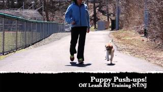 Jack Russell Amazing Off Leash Training New York New Jersey