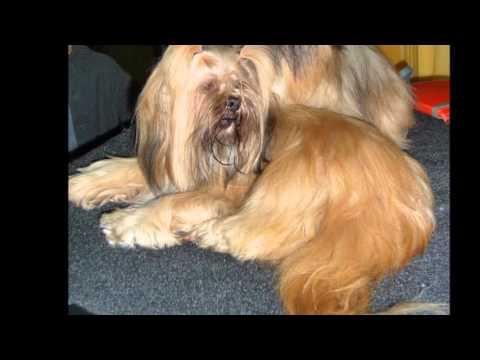 Beautiful photos of dog breeds Shih Tzu