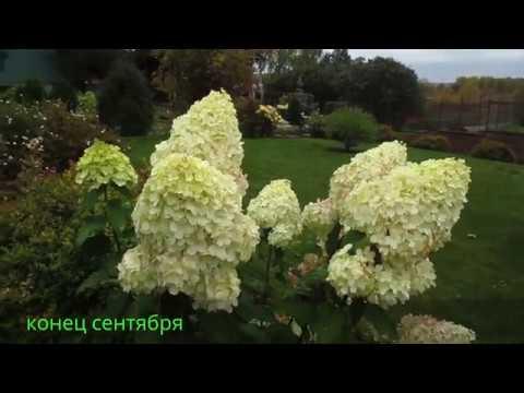 ✿➽ Гортензия метельчатая Silver Dollar в нашем саду 2016 г