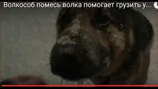 Волкособ помесь волка помогает грузить уголь для отопления таежной избы Собака Гибрид собаки волка.