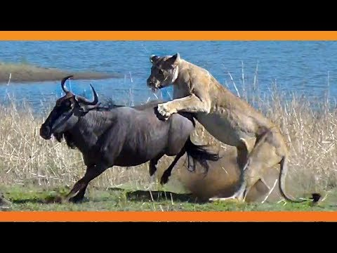 lions-hunt-pregnant-wildebeest-and-pull-the-baby-out!