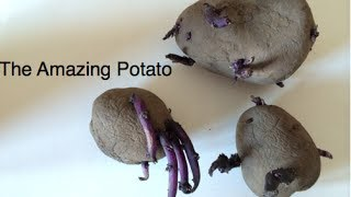 The Amazing Potato -- Planting In Potato Bags And Making Compost In The Alberta Urban Garden