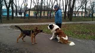 Очень культурная и воспитанная собака. Московская сторожевая и овчарка.