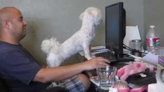 Poodle Follows Computer Mouse Pointer