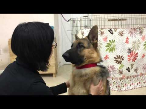 German Shepherd Puppy Enjoying Massage