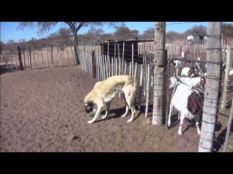 Goats and their Anatolian Shepherd