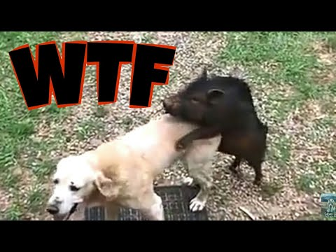 DOG_PIG_CAT ANF MANY ANIMAL FUN VIDEO AND PRANK