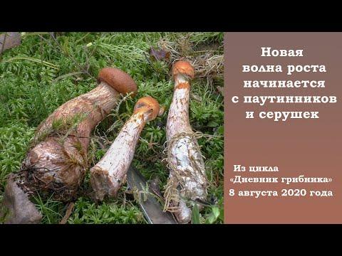 Новая волна роста началась с паутинников и серушек. Дневник грибника 8 августа 2020 года.