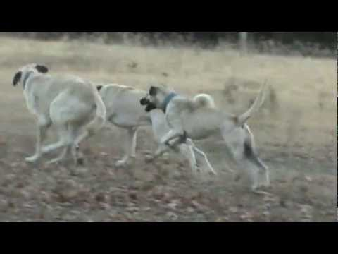 Livestock Guardian Dogs, Boz Shepherds