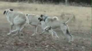 Livestock Guardian Dogs, Boz Shepherds