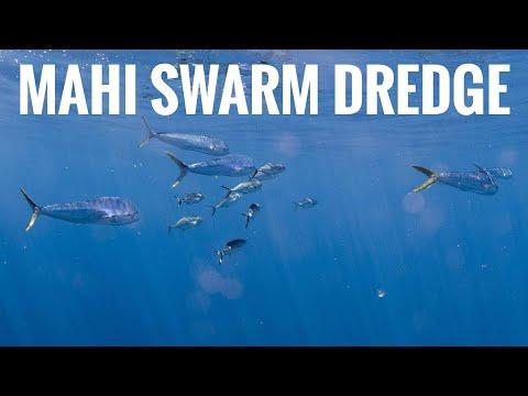 Offshore Office - Mahi Swarm on Dredge - April 30, 2012