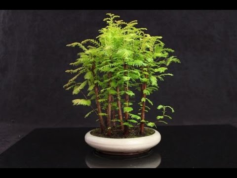 Metasequoia Dawn Redwood Bonsai Trees