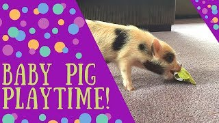 Baby Pig Pua Playing with a Cat Toy!