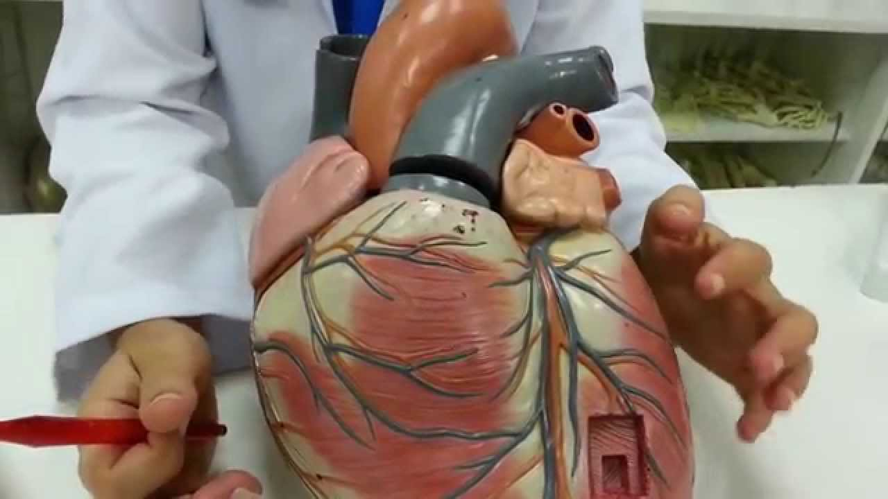 Principais veias do corpo humano e sua localizacao