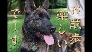 甲斐犬ハルヱ、生後3ヵ月、お散歩デビュー直後の様子で御座居ます♪ (20...