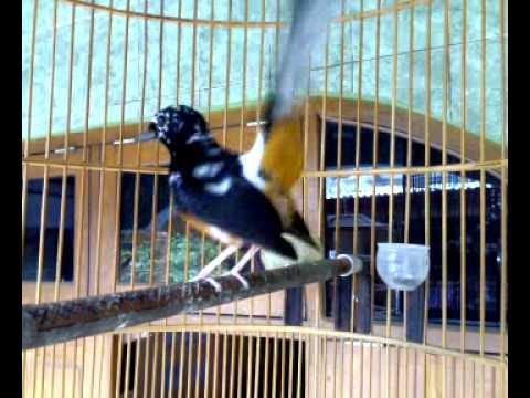Burung Murai medan blorok - YouTube