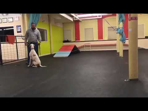 Dog Training | Owner & dog rocking some ECollar recall | Solid K9 Training Dog Training