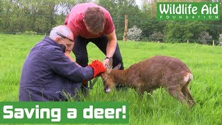 Deer set free from fencing! - Animal rescue