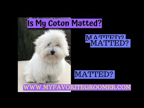live---is-my-coton-matted---help-me-groom!-texas---lola!