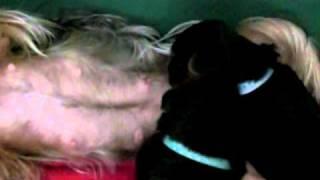 Priceless Yorkie Puppy Yorkshire Terrier Mom Nursing  Tiny Yorkies