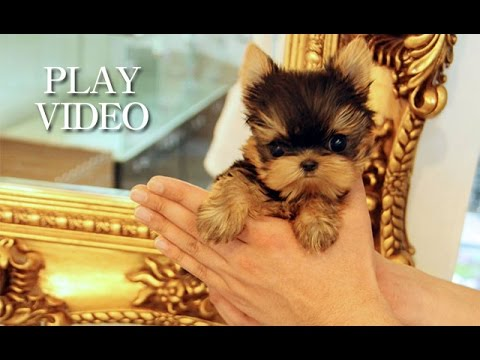 Amazing teacup yorkie for sale!!