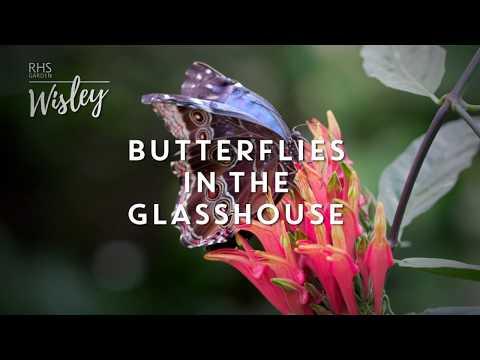 RHS Garden Wisley | Butterflies in the Glasshouse