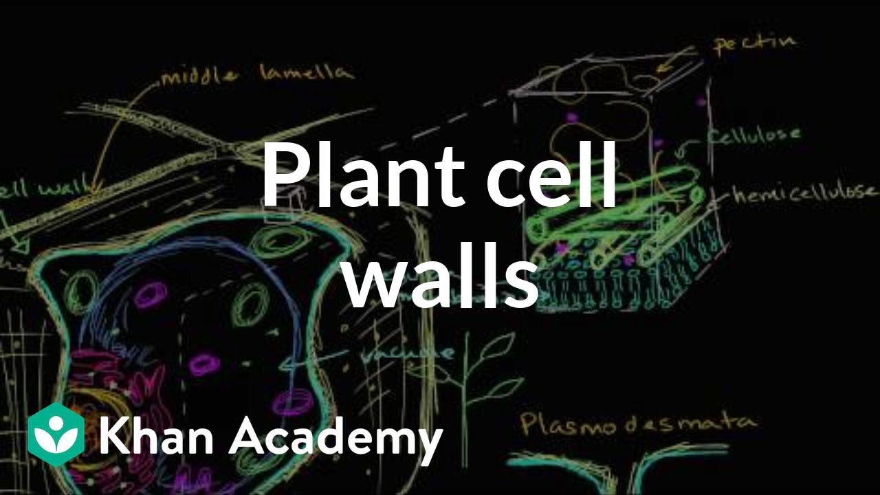 Plant Cell Walls Video Khan Academy