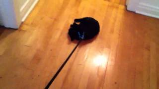Kitten Leash Training. Day 1