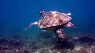 Взрослая черепаха на острове Тао, дайвинг сайт Твинс.(Уже стало традицией, что новички с Самуи, которые первый раз пробуют погружаться на островах Тао и Наньюань..., 2014-09-28T17:26:39.000Z)
