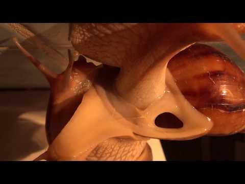 Дыхальце улитки ахатина иммакулята