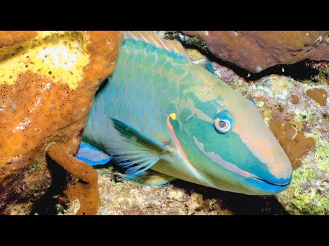 VIDEO: Parrotfish Builds Mucus Cocoon For Protection During Sleep   Oceana
