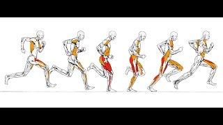 Sommes nous fait pour courir, mythes et réalités physique.