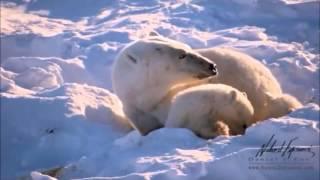OSOS POLARES (ANIMALES EN PELIGRO DE EXTINCIÓN) este vídeo fue realizado con fines educativos