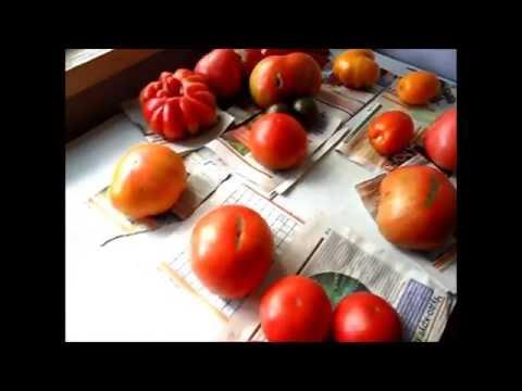 Лучшие сорта помидоров для открытого грунта  Обзор 10 августа