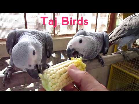 African Grey Parrot Baby : African Grey Parrot Talking : African Grey Parrot Baby Playing