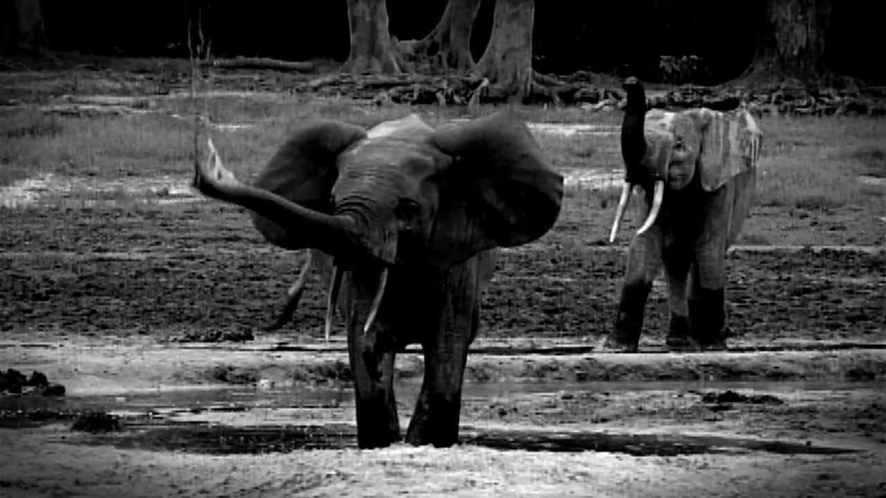 ivory belongs on elephants