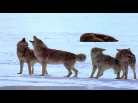 Yellowstone Realm of The Coyote (Nature Documentary)
